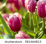 A Purple Tulips Flowers That...
