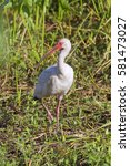Small photo of American white ibis close up
