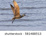 The Marbled Godwit  Limosa...