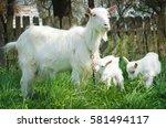 Closeup Of Three White Goats...