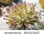 Sea Anemones Are A Group Of...