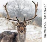 Fallow Deer On A Snowy Day In ...