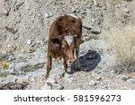 brown cattle grazes in the... | Shutterstock . vector #581596273