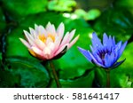 Blue And Pink Water Lilly In A...
