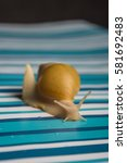 Small photo of Snail Achatina on a blue background