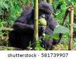 Mountain Gorilla  Young...