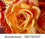 Close Up Of Fresh Orange Rose...