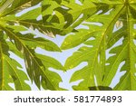 abstract texture of papaya leaf ... | Shutterstock . vector #581774893