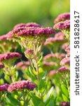 blooming plant sedum prominent... | Shutterstock . vector #581828617