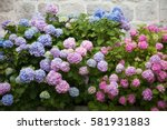 Hydrangea Is Pink  Blue  Lilac...