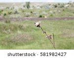 Milk Thistle Flowers