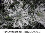 Brassica Oleracea Flowering...
