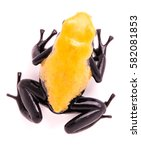 Small photo of Adelphobates galactonotus, yellow splash backed or splashback poison dart frog. A poisonous rain forest animal from the Amazon rainforest in Brazil. Isolated on a white background.