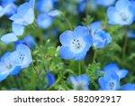 Nemophila Spring Blue Flowers