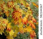 Small photo of Acer japonicum Vitifolium Autumn colour