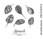 set of spinach. hand drawn...   Shutterstock .eps vector #582156913