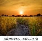 Sunset With Golden Rice Fields.