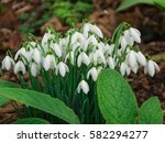 white and delicate snowdrops in ... | Shutterstock . vector #582294277