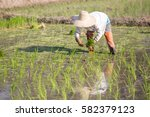 farmer planting rice sprout in...   Shutterstock . vector #582379123