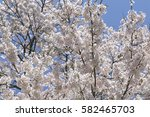 cherry blossoms blooming in... | Shutterstock . vector #582465703