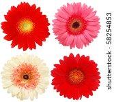 Gerbera Blooms