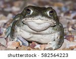 The Colorado River Toad ...