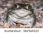 The Colorado River Toad ...