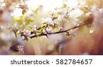 Blossomings Of An Apple Tree I...