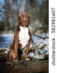 Small photo of Dog American Pit Bull Terrier, Outdoors