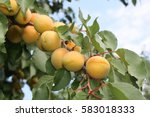 apricot tree fragment. bunch of ... | Shutterstock . vector #583018333