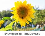 Yellow Sunflowers On A Farm....