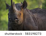 Black Rhino In The Bush Of...