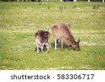 australian  brown kangaroos... | Shutterstock . vector #583306717