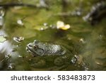 Small photo of American Bullfrog Closeup in Pond with Blurry Background