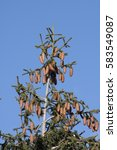 Small photo of silver Fir with cone in Pyrenees, Abies alba