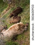 Small photo of Alaskan brown bear sow and cubs sleeping in the woods in Katmai National Park, Alaska