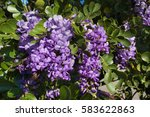 A Group Of Mountain Laurel...