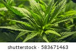 indoor medical marijuana grow... | Shutterstock . vector #583671463