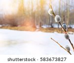 Twigs Of Willow With Catkins O...