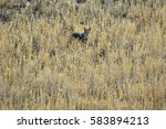 Small photo of Lone Coyote