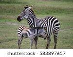 Zebra With A Newborn Foal In...