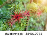 Tillandsia Air Plant In The...