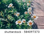 vintage style of daisy flowers... | Shutterstock . vector #584097373