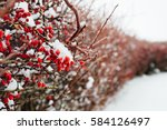 A Rose Bush In The Winter  Wit...