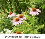 Some Flowers Of Echinacea...