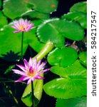beautiful lotus flower in pond | Shutterstock . vector #584217547