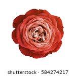 red rose flower. white isolated ... | Shutterstock . vector #584274217