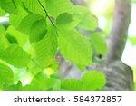 leaves of fresh green. leaves... | Shutterstock . vector #584372857