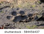 tiger track or footprint in the ... | Shutterstock . vector #584456437