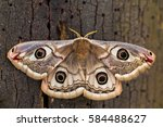 Small Emperor Moth  Saturnia...